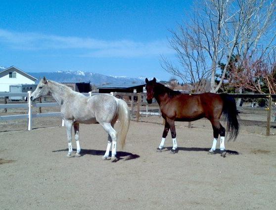 Karen Chaton Arabian Horses
